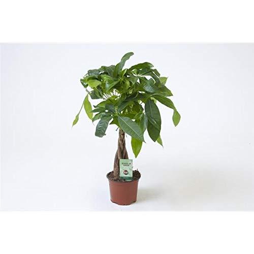 Top 10 Glückskastanie Pflanze – Bonsai