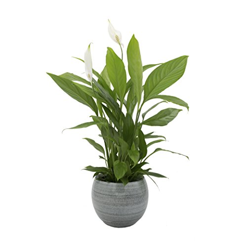 Top 10 Peace Lily Plant – Zimmerblumen