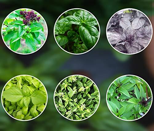 Top 10 Basilikum Samen Set – Kräutersamen & -pflanzen